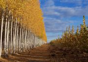 poplar-trees1