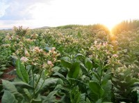 A field of Solaris tobacco plants (Photo: Boeing)