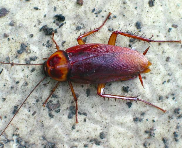Photo via Flickr/Lynette/American cockroach