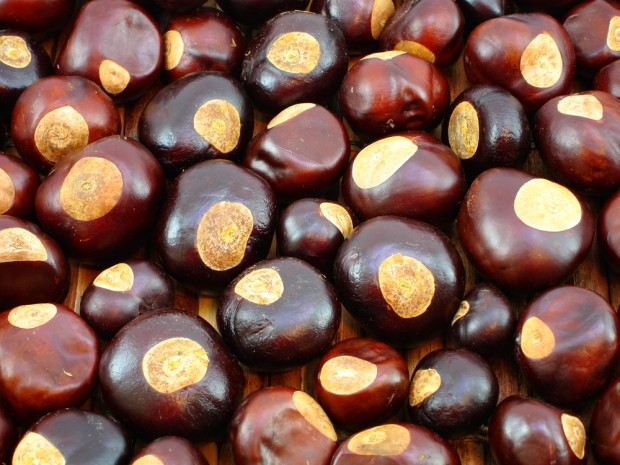 The inedible and useless Buckeye nut from Ohio's state tree. Photo: Shutterstock.