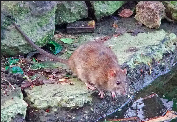 Photo via Flickr/Creative Commons/ Martin Cooper/ Common brown rat