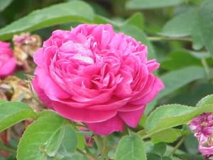 The Joury rose. Photo via Wikipedia.