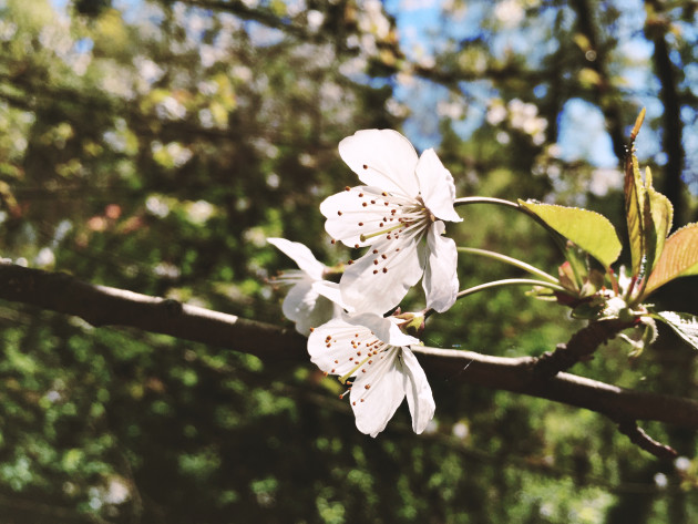 Got a favorite cherry tree in the Washington Park Arboretum? Mark it on a new interactive map. (Kurt Schlosser, GeekWire)