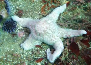Diseased starfish