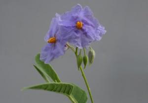 Solanum watneyi Martian