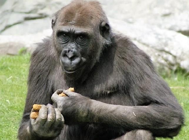 Susie the gorilla