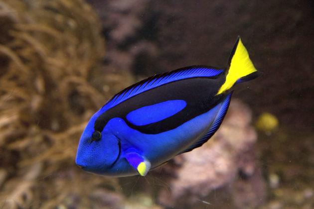 A blue tang fish. (Via Shutterstock)