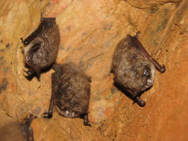 Bats with white-nose-syndrome