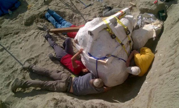 T. rex skull extracted