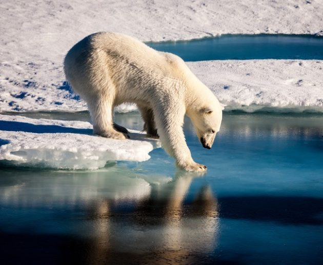 A polar bear tests the strength of thin sea ice in the Arctic. (Credit: Mario Hoppmann via Imaggeo.EGU.eu)