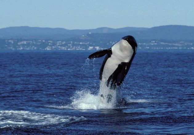 The Oldest Killer Whale Dies at More Than 100 Years Old