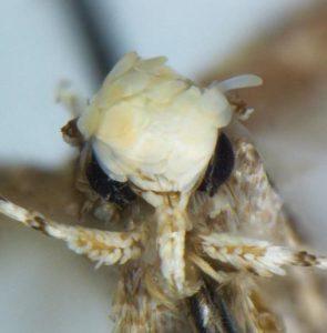 Donald Trump moth