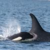 Orca mom and calf