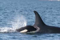 Orca mom and calf
