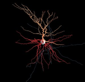 Brain cell reconstruction