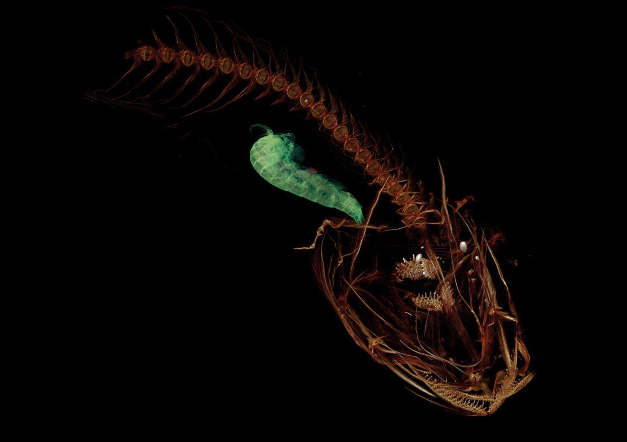 Snailfish and crustacean