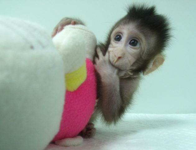 Cloned monkey