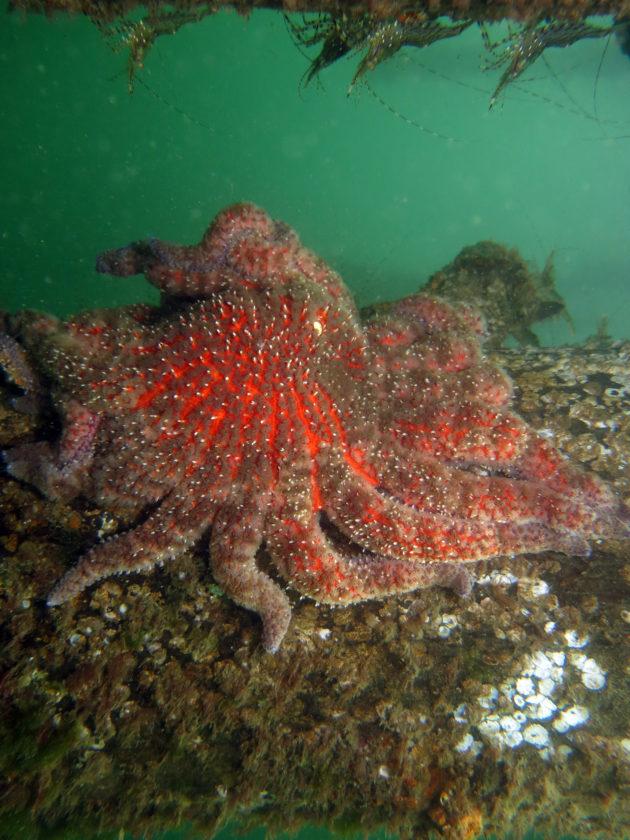 Healthy sunflower sea star