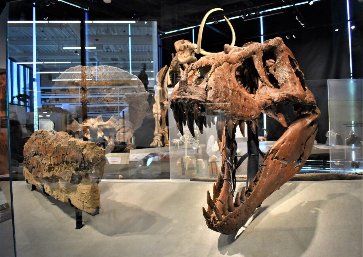 T. rex skull