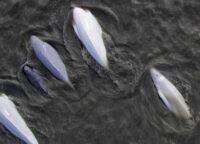 Cook Inlet beluga whales