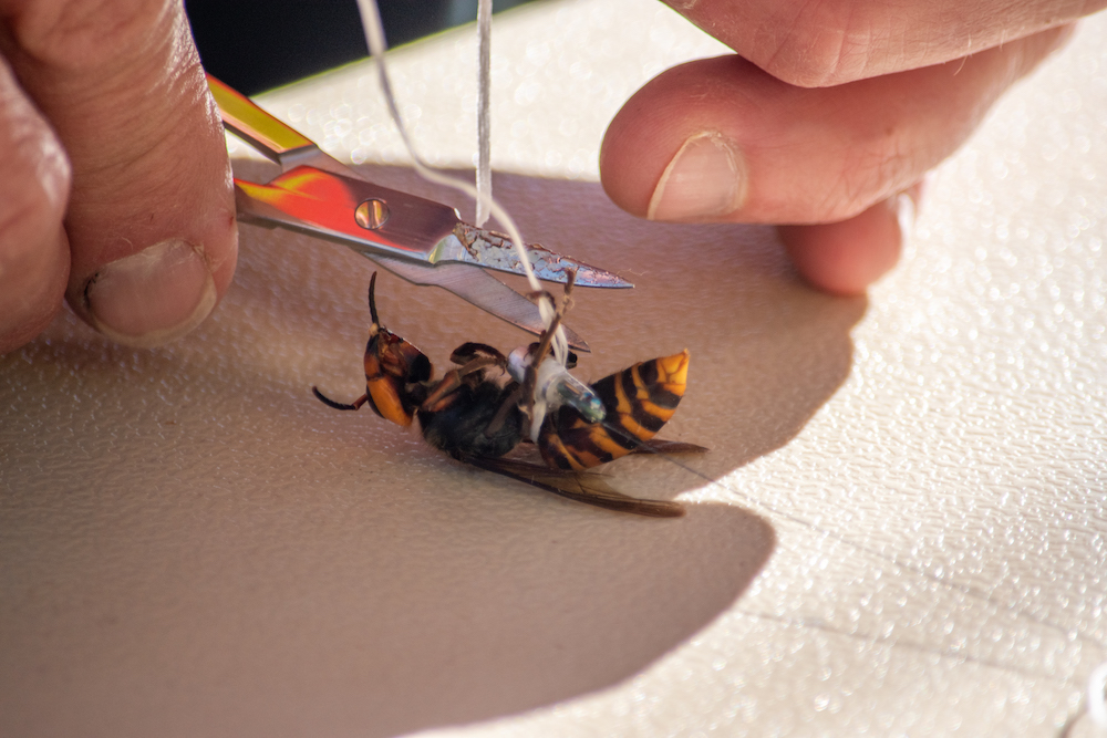 UW researcher put tiny tracking technology on giant hornets to help state deal with murderous pest