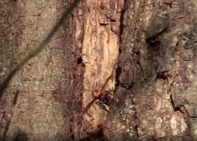 First 'Murder Hornet' Nest In U.S. Is Found In Washington State